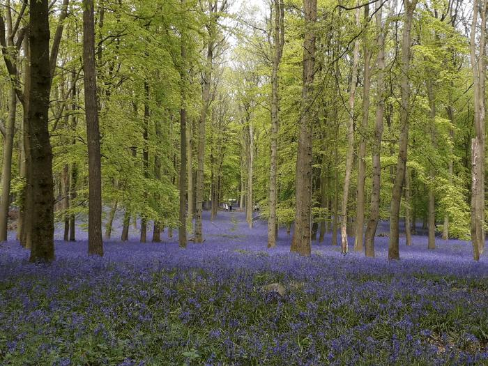 AMC Bluebells